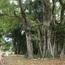 """Tận mắt chiêm ngưỡng độ """"khủng"""" của cây sanh hơn 800 năm tuổi trong phim Ma làng"""