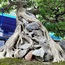 """Cây sanh """"Huyền phượng vũ"""" giá triệu đô có mặt tại thành phố biển Sầm Sơn"""