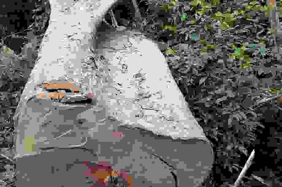 Phối hợp xử lý nghiêm vụ phá rừng pơ mu tại Đắk Lắk