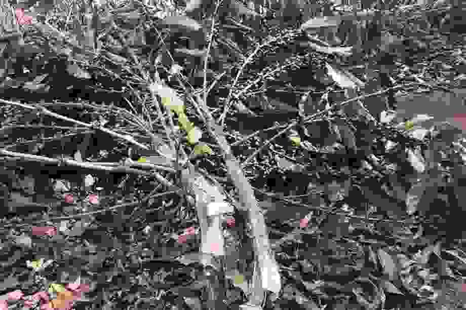 Gần 2.000 cây cà phê bị chặt phá trong đêm