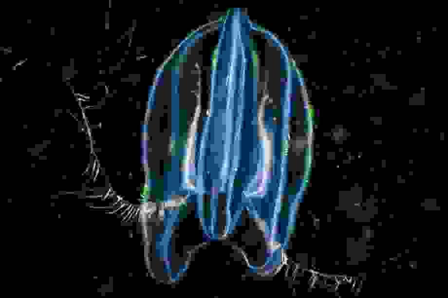 Loài sứa xâm chiếm những vùng biển mới bằng cách ăn thịt con mình