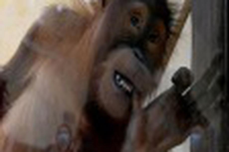 Đười ươi ở sở thú phát khóc vì nhớ du khách