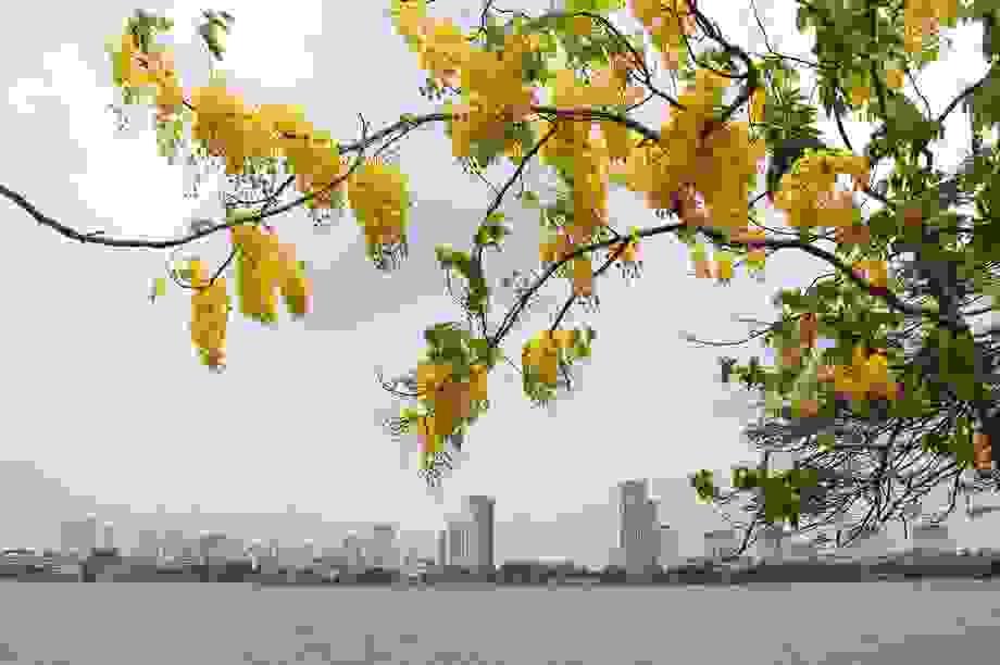 Hồ Tây thơ mộng trong sắc hoa muồng hoàng yến