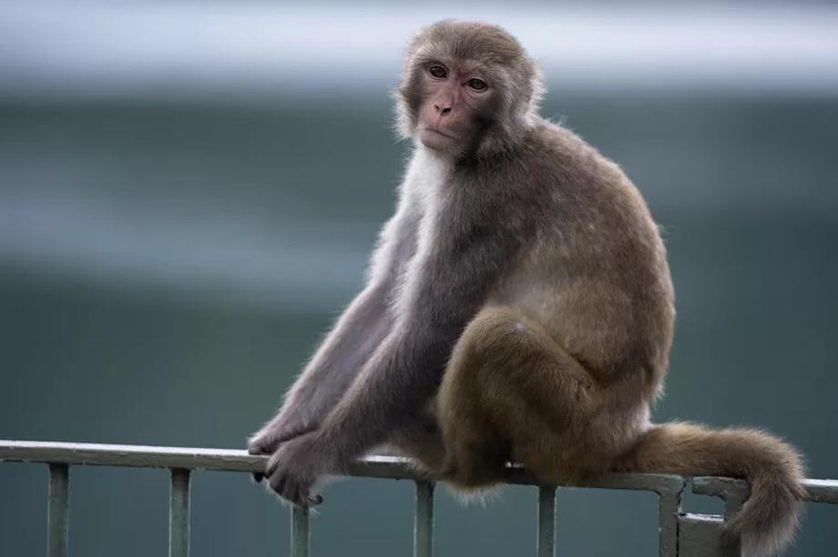 Thử nghiệm thành công vắc-xin chống lại Covid-19 trên khỉ