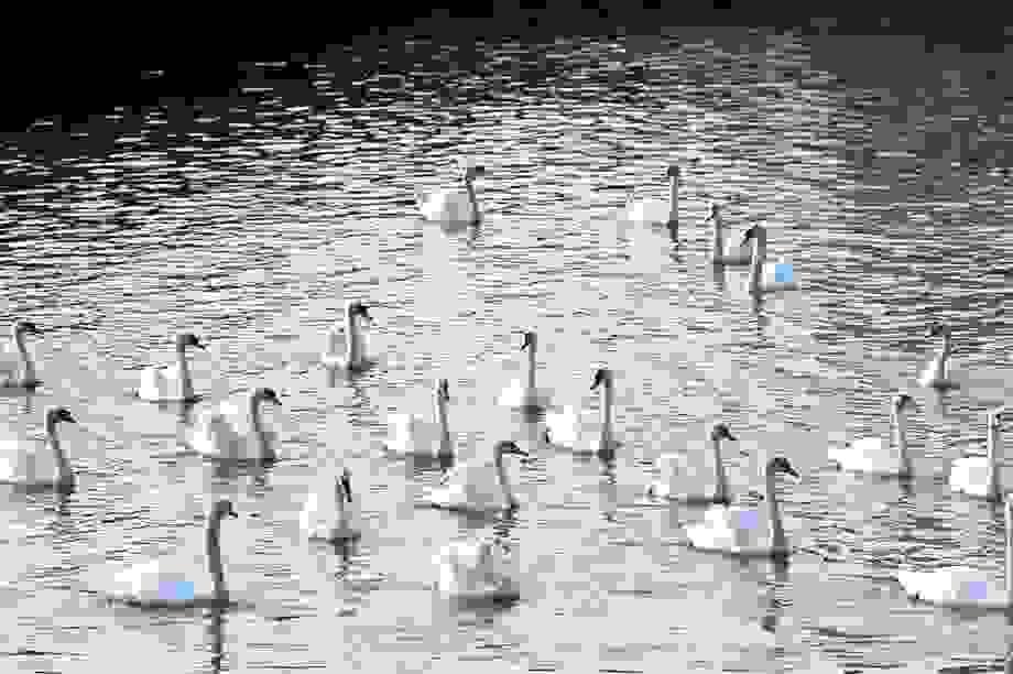 Người dân đổ xô ngắm 65 đôi thiên nga mới thả thêm xuống sông Tam Bạc