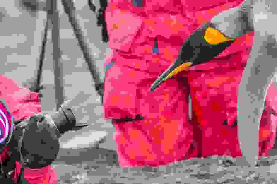"""Phân chim cánh cụt tạo ra khí cười khiến các nhà khoa học """"say"""""""
