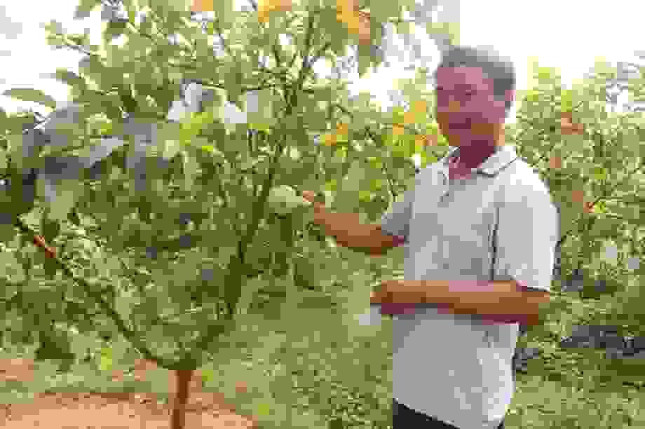 Bí quyết chăm ổi lê Đài Loan ra trái ngọt, giòn, thu về tiền tỷ