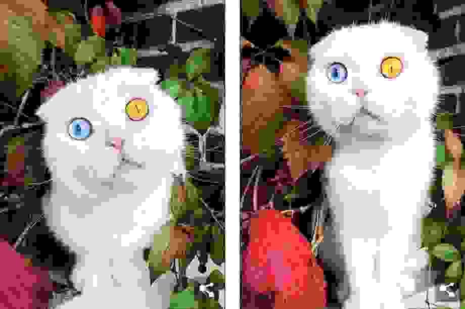 Độc đáo chú mèo có 2 màu mắt một xanh một vàng
