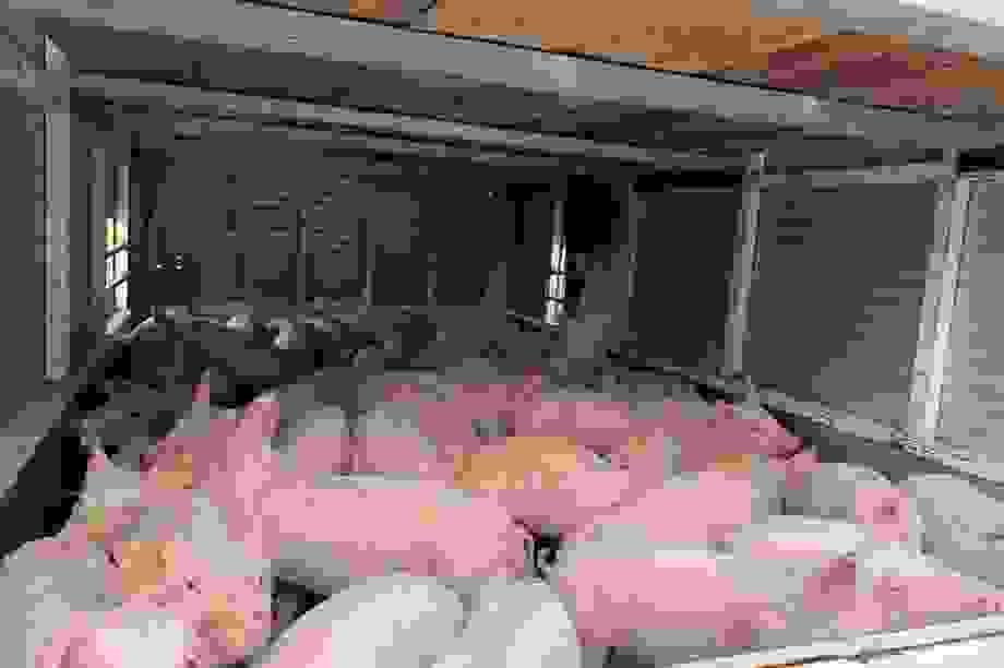 """Giá lợn hơi liên tục """"phi mã"""" chạm mốc cao khó tin: 103 nghìn đồng/kg"""