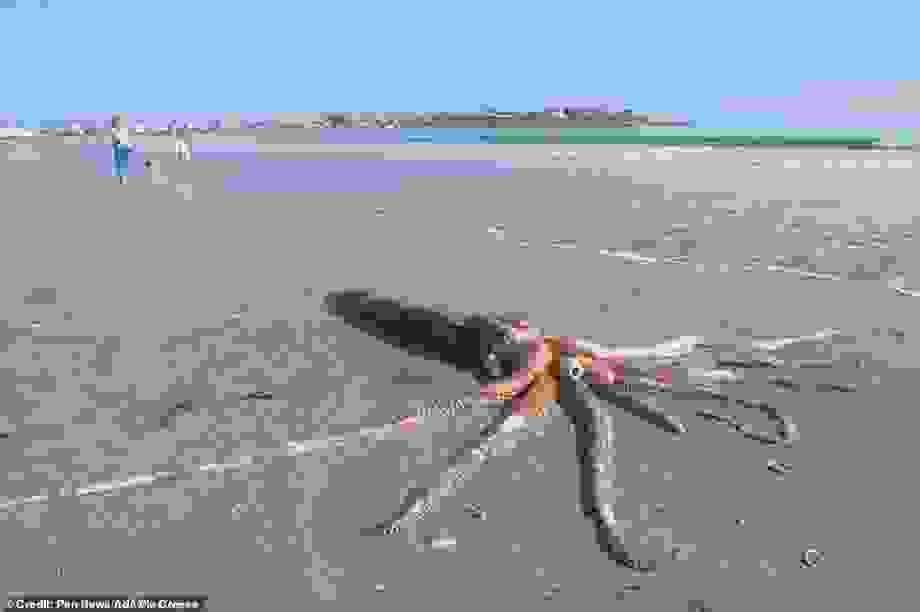 """""""Quái vật"""" mực khổng lồ cực hiếm chết trôi dạt vào bờ biển ở Nam Phi"""