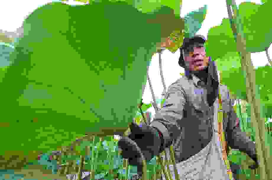 Lội bùn hái sen 2 tháng, nông dân kiếm hàng trăm triệu đồng
