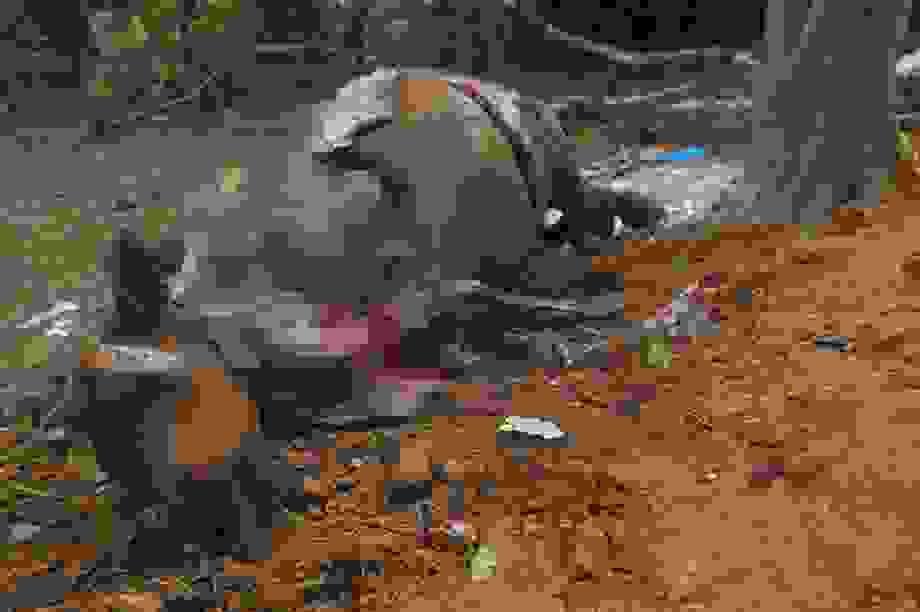 """Vụ đàn trâu chết """"như ngả rạ"""" ở Hà Nội: Loại trừ nguyên nhân dịch bệnh"""