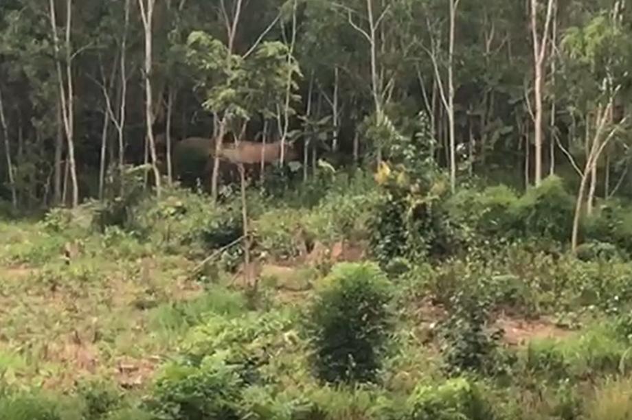 Voi rừng về phá rẫy kiếm thức ăn, đuổi cả người dân