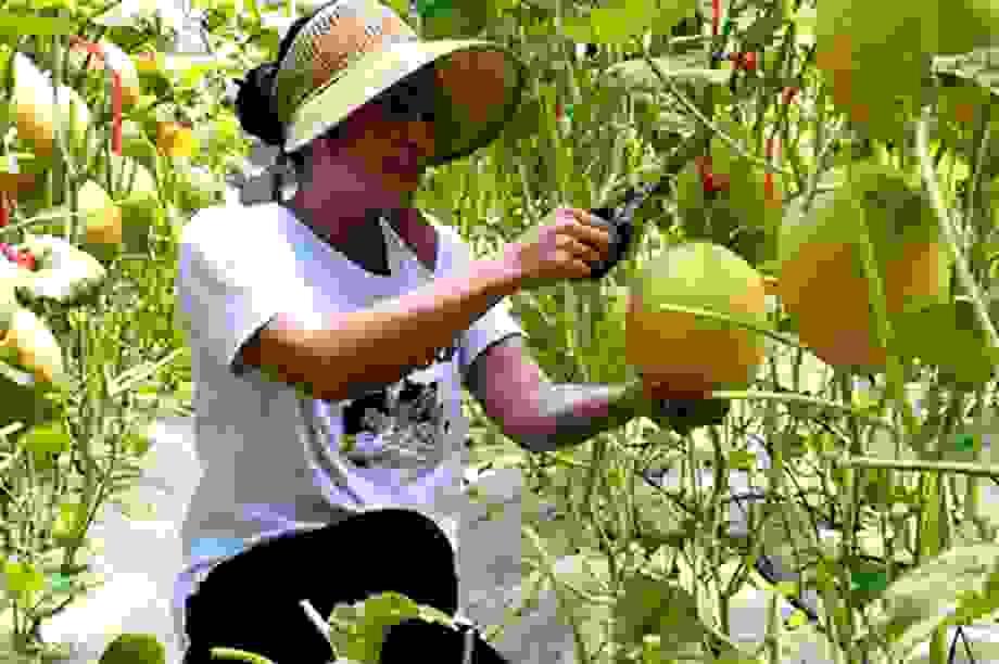 Hà Tĩnh: Ngỡ ngàng vườn dưa lưới công nghệ cao ngay giữa lòng nội đô