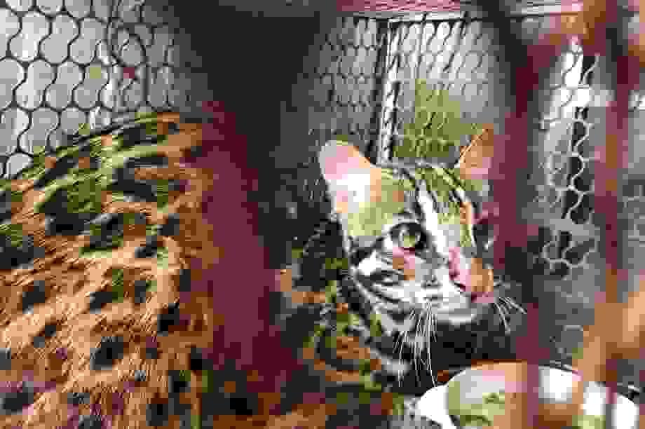 Chủ nhà hàng mua mèo rừng quý hiếm để bàn giao cho trung tâm cứu hộ