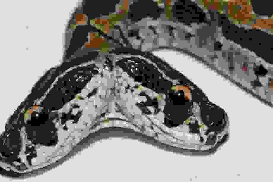 Phát hiện rắn lục cực độc hai đầu ở Ấn Độ
