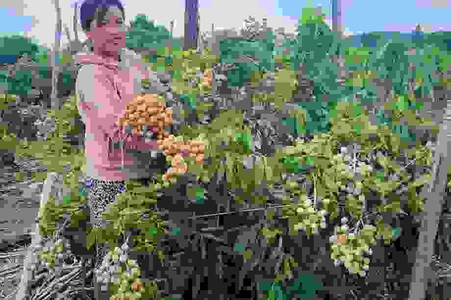 Đắk Nông: Thu gần nửa tỷ đồng nhờ trồng nhãn trên vùng đất đá ong