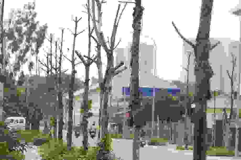 """Hà Nội: Hàng trăm cây xanh tiếp tục """"đột tử"""" trên con đường mới mở"""