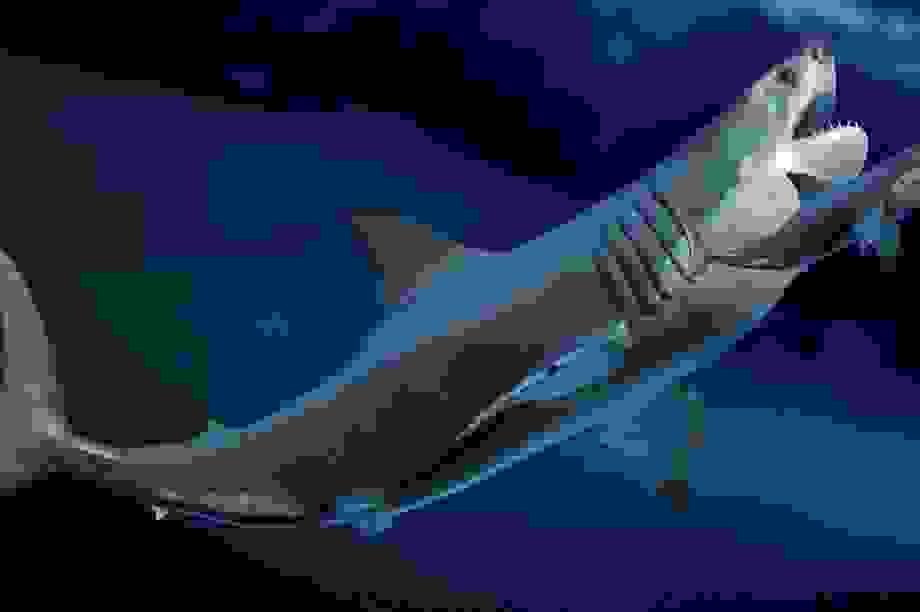 Hé lộ bí mật của siêu cá mập Megalodon