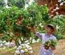"""""""Mục sở thị"""" vườn vải thiều trĩu quả ở Bắc Giang"""